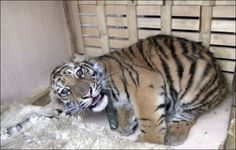 The only way to save wild tigers is to ban private possession of captive tigers