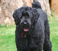 Scruffy is a Black Russian Terrier. AKC entry on breed. Black Dog Syndrome, Terrier Dog Breeds, Terriers, Scruffy Dogs, Black Russian Terrier, Russian Wolfhound, Big Puppies, Military Working Dogs, Cute Puppy Pictures