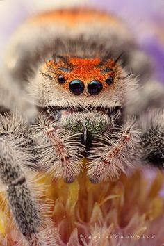 Macro Insect Photography By Igor Siwanowicz Insect Photography, Animal Photography, Animals And Pets, Cute Animals, Itsy Bitsy Spider, Jumping Spider, Fotografia Macro, Bugs And Insects, Tier Fotos