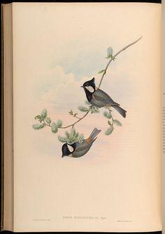 rufous-naped tit (parus rufonuchalis), circa 1885