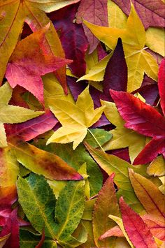 Fall color leaves