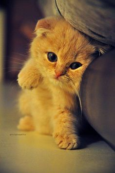 An orange kitten with folded-ears rubbing it side on the furniture.