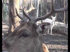 Deer and its antlers  Jeleń i jego poroże  鹿和它的鹿角 鹿とそのアントラーズ 사슴의 뿔 الغزل...