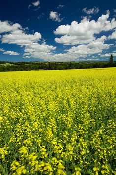 Looks just like Northern Maine in the summer!!!  Such a striking greenish-yellow color that makes the landscape look like a postcard!  |  Canola Field, Brookfield, Prince Edward