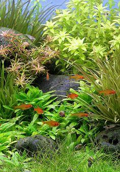 Aquarium+Aquascape+Holland++3-+Kooyman
