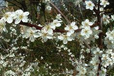 Sleedoorn  De Prunus spinosa (Nederlandse naam: Sleedoorn) is een inheemse haagplant die vooral geschikt is voor gebruik in wilde hagen en houtwallen.