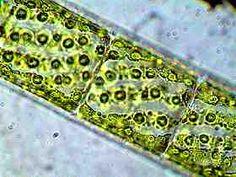 algen mikroskop - Google-Suche Botany, Google, Home Decor, Seaweed, Searching, Decoration Home, Room Decor, Home Interior Design, Home Decoration