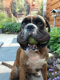 """""""He's looking for the tennis balls!"""" #dogs #pets #Boxers Facebook.com/sodoggonefunny"""