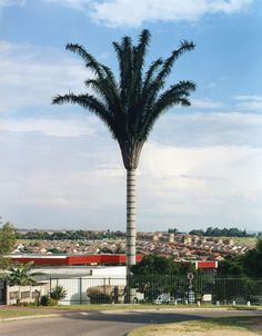 Cell Tower Disguised as a Palm Tree