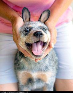 australian cattle dog puppies - Google Search