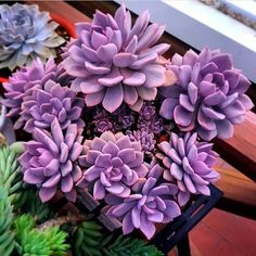 Here you can see some of the worlds most stunning purple succulents around. Explore all the different types of purple succulents out there! Purple Succulents, Purple Plants, Types Of Succulents, Growing Succulents, Cacti And Succulents, Planting Succulents, Cactus Plants, Garden Plants, House Plants
