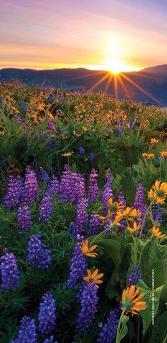 Tom McCall preserve. Lupins. Sunset.