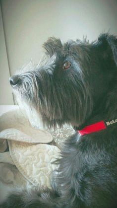 My little schnauzer. Schnauzer, Shelter, Dogs, Animals, Animaux, Doggies, Shelters, Animal, Animales