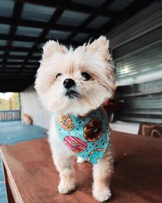 Cute Pomeranian mix dogs are the favorite choice of pets, and there are so many of these mixed breeds to choose so with this article, your search will be a lot easier. Cute Pomeranian, Save A Dog, Companion Dog, Lap Dogs, Dog Hacks, Pitbull Terrier, Little Dogs, Back Home, Dog Life