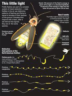 Fireflies (lightening bugs in KY)