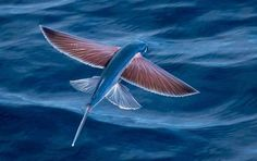 Exocoetidae, il pesce volante