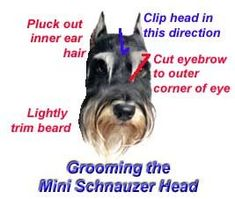 """Mini Schnauzer Grooming Tips ...don't believe that I'll """"pluck"""" his inner ear hair :( wouldn't that hurt?)"""