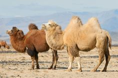 Mongolia, Camelo Bactriano, Large Animals, Cute Animals, Bactrian Camel, Desert Design, Greatest Adventure, Wild Horses, Science Nature