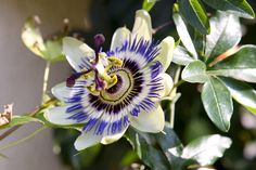 Got a shady wall or fence? Discover climbers that thrive in shade, including clematis and passionflower, recommended by BBC Gardeners' World Magazine.