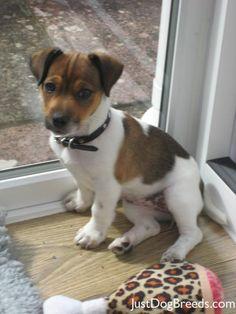Jack Dog   Phoebe - Jack Russell Terrier - Dog Breeds