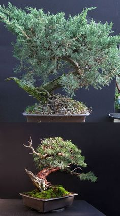 styling of a large San Jose Juniper bonsai - to get a semi-cascade bonsai, the planting position of the tree was altered to an upright position, the deadwood reworked and the foliage wired and laid-out.