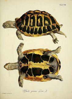 Natural history of turtles: By Schopf, Johann David Keller, Johann Christoph, Nussbiegel, Johann, Volckart, Johann Friedrich Wunder, Friedrich Wilhelm