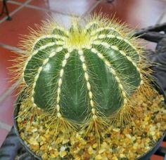 cactus ornamentales | Cuidar de tus plantas es facilisimo.com