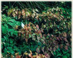 Koop online bij onze tuinplanten webshop de Epimedium rubrum | Elfenbloem | Gratis verzending! | Binnen 2-4 werkdagen bezorgd! | Tuinplantenwinkel.nl