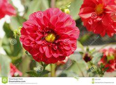 Dalias rojas en el jardín