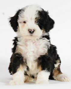 My blog today - R U an animal lover? Stop in & see a Bernedoodle & meet Ricochet from Land of Falling Stars http://ketaskeep.blogspot.com