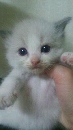 里親さんブログラグドールの子猫ちゃん - http://iyaiya.jp/cat/archives/72637