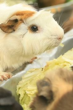 Guinea pig diet #guineapigdiet #guineapig #guineapigfood