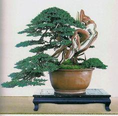 Bonsai, Japanese White Pine