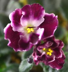 Crimson Ice: This is a Standard variety known as Crimson Ice hybridized by Lyons. The leaves are tailored in shape and dark green in color. The flowers are white in color with a crimson red thumbprint. The flowers are single in type.