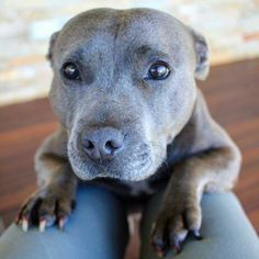 How could anybody look at this face and want to do anything other than smooch on it and love it??? #pitbull