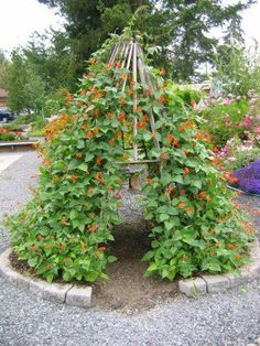 bean teepee with scarlet runner beans Elise's personal comment: this is one of the things I love about pintrest. If I have an ideabut am not sure it can be done, 10 to 1 someone found a picture of what I want to do and pinned it. :-)