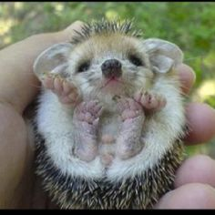 Baby Porqupine, he looks a little hobbity, but you know, still adorbs