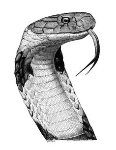 The Gallery For King Cobra Drawings