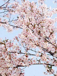 벚꽃의 꽃말은 중간고사..!