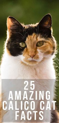 Calico Cat Facts: 25 Amazing Facts About Calico Cats Calico Cat Facts: 25 Amazing Facts Abo. Kittens Cutest, Cats And Kittens, Kitty Cats, Ragdoll Kittens, Funny Kittens, Bengal Cats, Black Cat Memes, Fun Facts About Cats, Cat Facts Text