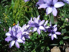 """Canangas-do-japão - Família Zingiberaceae - Flor duma beleza rara e dona de um perfume maravilhoso,a cananga-do-japão,( Flor-da-Terra, Flor-da-Ressurreição, Lírio-Misterioso e sendo parente do gengibre, às vezes é chamada de """"peacock ginger"""" (gengibre-pavão)"""