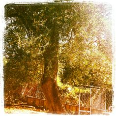Olive tree- Cilento, southern Italy