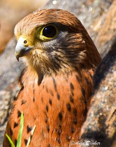 Rock kestrel and their closest cousins are widespread throughout Europe, Asia, and Africa, preferring a variety of habitats with close proximity to rocky outcrops.