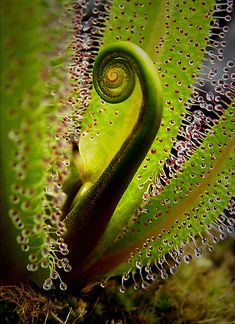 Drosera capensis es la planta carnívora más popular, por ser una especie muy resistente y de fácil cultivo, en comparación con otras plantas insectívoras.