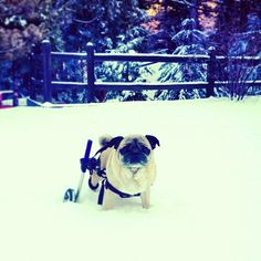 pug stuck in the snow... in his wheels