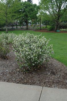 14 Best Chokeppery Aronia Images Plants Berries Landscaping Plants