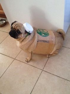 Pugkin Spice Latte. | 26 Costumes That Prove Pugs Always Win At Halloween