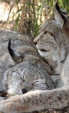 Felini/Lince Europea(o Eurasiatica- Lynx Linx): Big Cats, Cats And Kittens, Cute Cats, Funny Cats, Siamese Cats, Nature Animals, Animals And Pets, Wild Animals, Beautiful Cats
