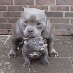 #father #son #protection #dog #dogs #doggy #dogsofinstagram #instagood #instalove #instafollow #love #passion #pitbull #follow4follow #americanbully_ #americanbully Photo Credit to http://ift.tt/1TF8fK9