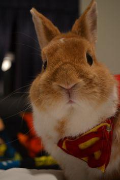Buddy the rabbit playing Superman.  Cutie cheeks!